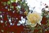 Autumn Yellow Rose! (maginoz1) Tags: abstract art rose flower yellow manipulate curves autumn april 2018 bulla melbourne victoria australia canon g3x