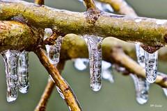 Glaçons / Icicles (jmguay1) Tags: gouttes drops macro macrodreams glaçons icicles glace verglas freezing rain closeup art artistic artistique canon t6s proxi arbre tree nature macromondays