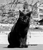 Chat au soleil (Nebelang) Tags: gato negro black cat chat noir felino ojos verdes green eyes yeux verts chatausoleil gatoalsol catinthesun sol sun soleil abril april avril blancoynegro blackandwhite noiretblanc