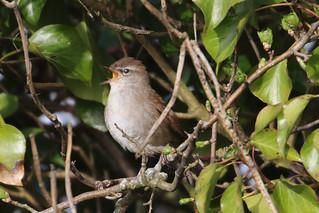 Cetti's warbler singing