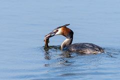Great Crested Grebe (Adam Sibbald) Tags: nikon d500 200500 rspb nature hamwall greatcrestedgrebe bird water somerset levels