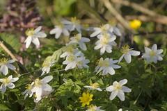 Anemone (Tony Tooth) Tags: nikon d7100 nikkor 55300mm woodanemone anemonenemorosa flowers wildflowers spring april whiteflowers riverside grindon staffs staffordshire coyntryside
