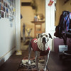 (Hogarth Ferguson) Tags: rolleiflex28d rolleiflex pitbull maggie mydog provia provia100f ishootfilm hogarthferguson