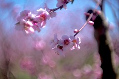 peach trees (maker of films) Tags: peach tree bokeh projector lens pink blue spring orchard vintage diy kaleidoscope nature duct tape gorilla glue soft focus shallow dof