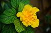 Rosa China Amarilla. (jagar41_ Juan Antonio) Tags: flores flor flora rosa rosas rosachina rosachinaamarilla
