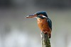 365 - Image 73 - Kingfisher... (Gary Neville) Tags: 365 365images 5th365 photoaday 2018 kingfisher sony sonyrx10iv rx10iv rx10m4 m4 garyneville 1inchsensor