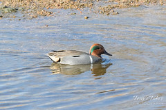 Green Winged Teal on the South Platte River