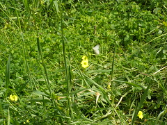 Ψίνθος (Psinthos.Net) Tags: ψίνθοσ φύση εξοχή άνοιξη spring nature countryside psinthos march μάρτησ μάρτιοσ πρωί πρωίάνοιξησ ανοιξιάτικοπρωί morning fasouli fasuli φασούλι φασούλιψίνθου φασούλιψίνθοσ fasoulipsinthos fasoulipsinthou pollen γύρη χόρτα greens κίτριναλουλούδια άγριαλουλούδια αγριολούλουδα wildflowers flowers yellowflowers yellowflower κίτρινολουλούδι λουλούδι άγριολουλούδι αγριολούλουδο ηλιόλουστημέρα μέρα day sunnyday light φώσ sunlight φώσήλιου φώσηλίου