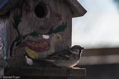 Taking in the Sun (danfryer2) Tags: crop bird sparrow colour color nikond7200 backyard nature
