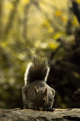 Greed (maximus_smith) Tags: feeding food log wood cornwall student species green shallow forest woods tehidy wildlife nature squirrel