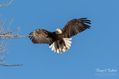 Female Bald Eagle returns to the nest - 4 of 29