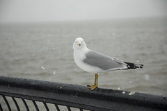 A seagull hangs out near the Hudson River as a nor'easter rolls through Hoboken on March 21, 2018. (apardavila) Tags: esb empirestatebuilding hoboken hudsonriver manhattan nyc newyorkcity bird seagull skyline skyscraper