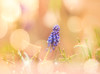 in the light (Tomo M) Tags: grapehyacinth muscari nature light bokeh rain waterdroplets drop spring pentacon daylight outdoor pastel soft dreamy throughherlens camro