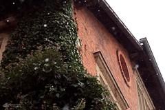 #40 Der Efeu grünt trotzdem (Mitrish) Tags: kalt zukalt flocken schneeflocken snowflakes cold efeu grün zursudpfanne bayreuth winter sudhaus photography 365tage 365days frühling frühlingsanfang schnee snow froschperspektive frog perspective
