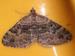 Xanthorhoe quadrifasciata - Large twin-spot carpet - Ларенция четырёхполосая (Cossus) Tags: geometridae larentiinae xanthorhoe пестово пяденица 2009