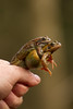 Frog Popsicle (jon lees) Tags: the herpetological society ireland commonfrog mating sex thecommonfrogranatemporaria amplexus
