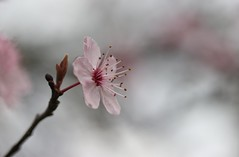 À chaque Princesse sa fleur...... (Callie-02) Tags: arbre pistils bourgeon branche macro canon profondeurdechamp bokeh printemps couleurspastels douceur tendresse rose fleur
