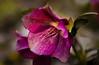 Purpur-Nieswurz - Helleborus orientalis (huetteberg) Tags: christrose schneerose lenzrose helleborus hahnenfussgewächs spring frühling blume blüte bloom blossom botanik makro canon 7d huetteberg