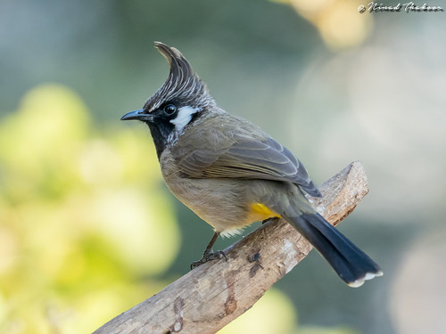 """Himalayan Bulbul (Lifer) • <a style=""""font-size:0.8em;"""" href=""""http://www.flickr.com/photos/59465790@N04/26215548257/"""" target=""""_blank"""">View on Flickr</a>"""