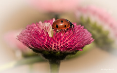 Spring !!!! (Magda Banach) Tags: canon canon80d ladybug sigma150mmf28apomacrodghsm springflowers colors flora flower garden green macro nature pink plants poland spring