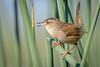 Marsh Wren (Becky Matsubara) Tags: avian bird birds california californiawildlifearea cistothoruspalustris mawr marshwren nature outdoors troglodytedesmarais wildlife wren yolobypasswildlifearea
