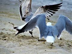 Fighting over a scrap (thomasgorman1) Tags: birds gulls seagulls seagull beach nature sand canon wildlife beggars scraps shore baja mx mexico