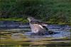 Sparrowhawk (image 1 of 3) (Full Moon Images) Tags: rspb sandy lodge thelodge wildlife nature reserve bird birdofprey washing bathing sparrowhawk