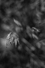 With Every Argument (belleshaw) Tags: blackandwhite portland oregon nature park grass seeds bloom spring drooping heavy blades plant detail abstract bokeh