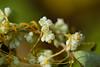 dao-66634_平原菟絲子(<i>Cuscuta campestris<-i>; Convolvulaceae 旋花科) (mutolisp) Tags: angiospermae angiosperms asteranae convolvulaceae cuscuta cuscutacampestris magnoliopsida plantae solanales spermatophytina taiwan tracheophyta lamiids location mutolisp plants 唇形類 平原菟絲子 旋花科 木蘭綱 植物界 種子植物亞門 維管束植物門 茄目 菊超目 菟絲子屬 被子植物 tw flowers