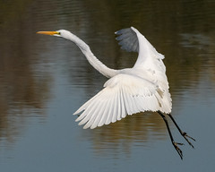 White Birds Return (tresed47) Tags: 2018 201804apr 20180409bombayhookbirds april birds bombayhook canon7d content delaware egret folder greategret peterscamera petersphotos places season spring takenby us ngc