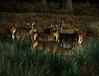 Deer in Richmond Park (boncey) Tags: olympusomdem1 olympus omd em1 camera:model=olympusomdem1 40150mm lens:make=olympus lens:model=olympus40150f4056 olympus40150f4056 lenstagged photodb:id=27464 richmondpark richmond surrey england deerinrichmondpark deer