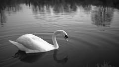 20180406_190346_Leica_MP_1101778.jpg (RD B) Tags: fluss tiereinsekten leicamptyp240 vogel himmel schwarzundweis main leicasummiluxm35mmf14asph schwan sonnenuntergang blackandwhite nature sky sunset swan würzburg bayern germany de