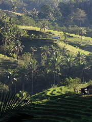 Tabanan rice terraces , Bali (scinta1) Tags: bali tabanan riceterraces sawah green terraces hillside palms hut shelter shadows pondok growing rice rows