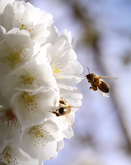 Competitors (charlieishere@btinternet.com) Tags: bees competitors competition pollinating pollen nectar bristol castlepark