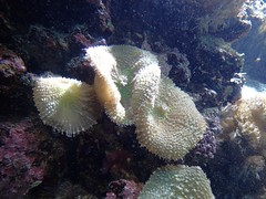 Discosoma sp (peut-être malaccensis) A confirmer - 22/02/18 (Philippe_Boissel) Tags: discosomasp discosomatidae corallimorpharia cnidaria captive corail corailmou 0092a