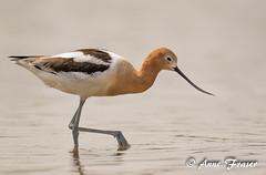 American Avocet (Anne Marie Fraser) Tags: americanavocet avocet bird water pond arizona wildlife nature