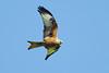 Red Kite 8 (Hugobian) Tags: red kites kite bird birds nature wildlife fauna flight flying raptor pentax k1 stilton