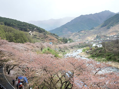Cherry blossom (MelindaChan ^..^) Tags: hadong skorea 河東 cherry blossom tree bloom spring chanmelmel mel melinda melindachan rural countryside travel