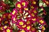Splash of colour (Sundornvic) Tags: flowers blooms blossom nature plants growing spring seasons shropshire shrewsbury