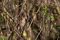 Hawfinch (Jens Hyldstrup Larsen) Tags: kernebider hawfinch coccothraustescoccothraustes spurvefugle passeriformes finker fringillidae