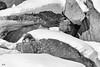 Camoscio alpino (mauro.cagna) Tags: nikon d800 tamron sirui valsavarenche valledaosta pngp avifauna montagne