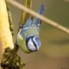 Renversant !!! (Phil du Valois) Tags: mésange bleue cyanistes caeruleus eurasian blue tit herrerillo común chapimazul blaumeise kék cinege pimpelmees cinciarella europea blåmes blåmeis sýkorka belasá sýkora modřinka blåmejse sinitiainen mallerenga blava eurasiàtica blámeisa modraszka zwyczajna zilzīlīte plavček лазоревка アオガラ 青山雀 歐亞藍山雀