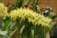 the 2018 pacific orchid exposition: Dendrobium speciosum species orchid (nolehace) Tags: winter nolehace sanfrancisco fz1000 218 flower bloom plant dendrobium speciosum species orchid poe sdos 2018 pacific exposition pacificorchidexpositon goldengatepark 66th annual orchidsinwonderland countyfairbuilding