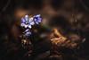 Leberblümchen (Karsten Höhne) Tags: wald blume halle lila