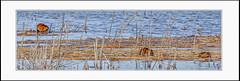 Busy Muskrats (Summerside90) Tags: muskrats marsh reeds march winter nature wildlife ontario canada