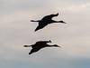 IMGPJ32786_Fk - Jackson County Indiana - Migratory Birds - Ewing Bottoms - Sandhill Cranes (David L. Black) Tags: olympusomdem1mkii olympus300f4014xtc birds sandhillcranes jacksoncountyindiana