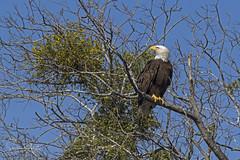 Bald Eagle (Stephen J Pollard (Loud Music Lover of Nature)) Tags: baldeagle águilacabezablanca águilacabeciblanca haliaeetusleucocephalus birdofprey avedepresa raptor averapaz bird ave