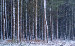 Snowing in the Woods (jactoll) Tags: coughton warwickshire winter woods trees forest snow snowing freezing cold landscape sony a7ii sony2470mmf28gm jactoll
