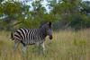 Zebra (ruukivi) Tags: blue south african republic lõuna aafrika vabariik february reis reismine travel traveling 2018 kruger np national park krügeri rahvuspark