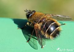 Première sortie ! (jean-daniel david) Tags: nature insecte insectevolant abeille macro closeup bokeh vert ombre yverdonlesbains